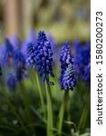 Close Up Blue Grape Hyacinth....
