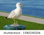 A Seagull sitting on a light fixture looks out over the river in a Kennewick park.