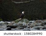 Close Up Of Bald Eagle Sitting...