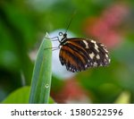 Tiger Longwing Golden Helicon...