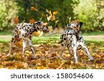 Stock photo two dalmatian dogs playing with leaves in autumn 158054606