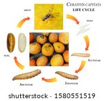 Mediterranean fruit fly or...