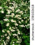 flowering bush philadelphus ... | Shutterstock . vector #158102618