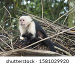 Capuchin Monkey Looks Sad As I...