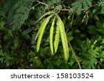 Leucaena Leucocephala Or Herba...