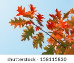 red autumn leaves of oak  | Shutterstock . vector #158115830