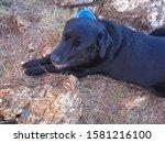 Black Labrador Dog Resting On ...