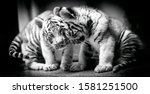 A Pair Of White Tiger Resting...