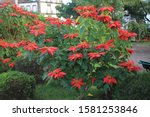 Types And Colors Of Poinsettia...