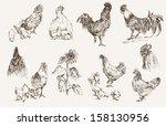 chicken breeding. set of vector ... | Shutterstock .eps vector #158130956