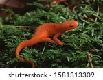 Eastern Newt Red Eft (Notophthalmus Viridescens)