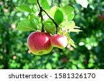 Two Ripe Red Apples On A Branc...