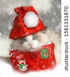 Grumpy Ragdoll Cat With Red...