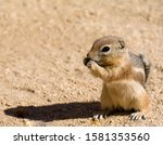 Mojave Ground Squirrel ...