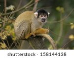 squirrel monkey | Shutterstock . vector #158144138