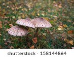 Parasol Mushrooms