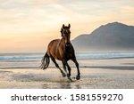 Dark Bay Horse Galloping In The ...