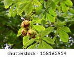 Horse Chestnuts On Conker Tree...