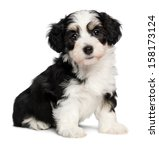 Stock photo a beautiful tricolor havanese puppy dog is sitting and looking at camera isolated on white 158173124