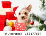 Cute Sitting Yorkshire Terrier...