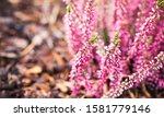 Purple Heather Flowers  Macro...