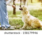 Stock photo golden retriever outdoor training process 158179946