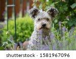 Pumi Dog Sitting In The Garden...