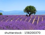 Lavender Field. The Plateau Of...