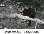 Small photo of American marten, Martes americana, Montana, USA