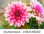 Dahlia  A Pink And Large Flower ...