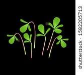 microgreens purslane. bunch of...   Shutterstock .eps vector #1582205713