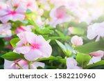 Impatiens Flowers In The Garden