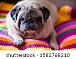 Nice Angry Dog Pug Relaxing...