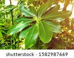 beautiful plumeria for...   Shutterstock . vector #1582987669