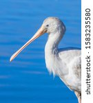 A Yellow Billed Spoonbill ...