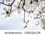 Close Up Of White Magnolia Tree ...