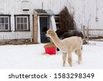 Side view of cute cream coloured young alpaca standing outdoors in front of other animals next to red bucket filled with hay during a winter afternoon, Quebec City, Quebec, Canada