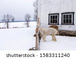 Side view of cute cream coloured young alpaca standing outdoors in front of other animals looking over fence with one foot raised during a winter afternoon, Quebec City, Quebec, Canada