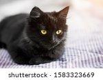 A Black Kitten Lies On The...