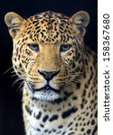 Portrait Of Amur Leopard Summer