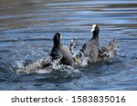 The Eurasian Coot (Fulica atra), also known as Coot, is a member of the rail and crake bird family, the Rallidae. fighting