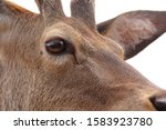 Deer And Red Stag Head Shot An...