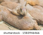 Prairie Dog Resting With Family
