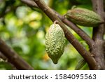 Cacao Tree  Theobroma Cacao ....