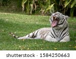 The White Tiger Is Yawning...