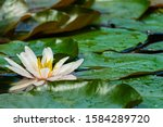 White Lily Or Marliacea Rosea...