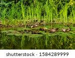 White Water Lily Or Lotus...