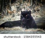 Black Panther Or Jaguar Laying...