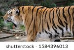 the amur tiger is the graceful... | Shutterstock . vector #1584396013