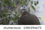 guinea fowl walking along the... | Shutterstock . vector #1584396673